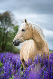 Fototapeta Konie - Vertical portrait of a Palomino horse among lupine flowers.