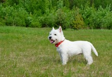 West Highland White Terrier In The Grass. Summertime.