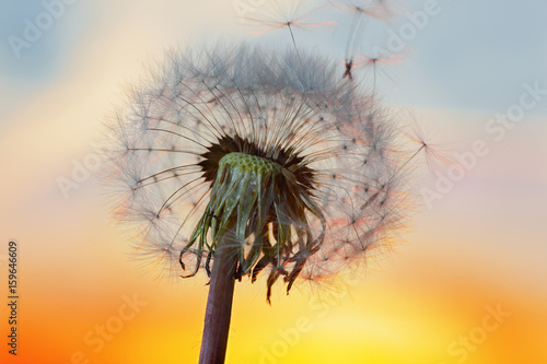Canvas Prints Dandelion white Dandelion in the sky with the sun
