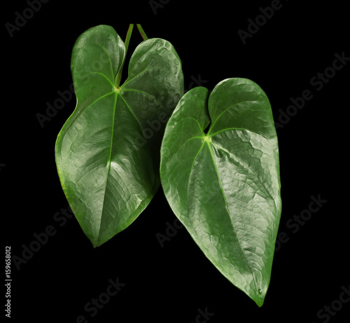 Staande foto Kameleon Green tropical leaves on dark background