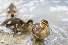 Close Up Of Three Baby Mallard Ducks On The Edge Of A Pond