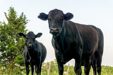 Texas Black Angus