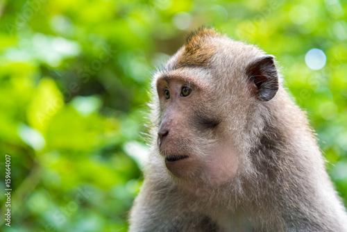 Foto op Plexiglas Indonesië Portrait of macaque monkey with copy space for text