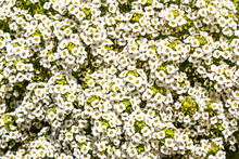 Bridal Wreath Spiraea (Spiraea Prunifolia 'Plena'), An Upright, Medium-sized, Clumping, Deciduous Shrub With Arching Branching.