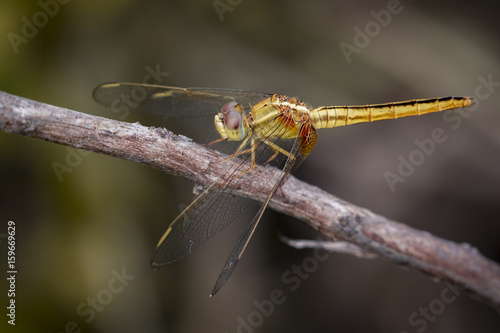 Image of a Dragonfly (Pantala flavescens) on nature background. Insect Animal