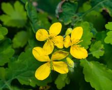 Flowers Of Greater Celandine Or Tetterwort, Chelidonium Majus, Macro, Selective Focus, Shallow DOF
