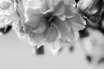 Obraz na Szkle Czarno-Biały Sakura flower cherry blossom.
