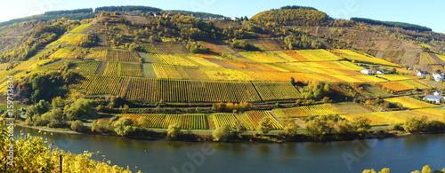 bunte Weinberge im Herbst bei Reil und Burg an der Mosel Panorama  #159713634