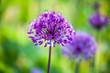 canvas print picture Allium