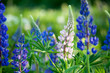 canvas print picture Lupine