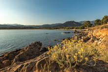 Curry Plant On Rocky Coast At ...