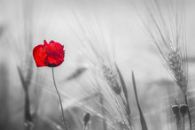 Withering Red Poppy Among The Ears Of Wheat. Scarlet Flower On A Black And White Back Field Of Ears. Soft Focus