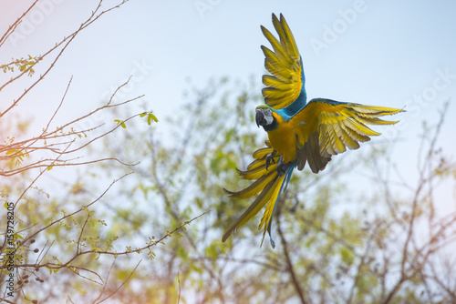 Photo sur Toile Perroquets Blue and gold macaw flying
