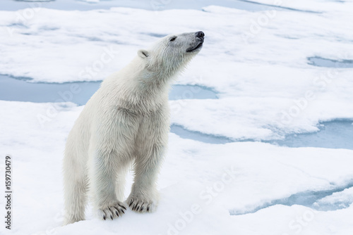 Spoed Foto op Canvas Ijsbeer Polar Bear on pack ice, Arctic