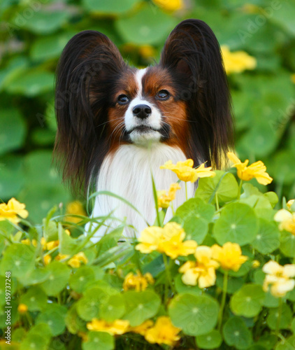 Portrait Of A Papillon In Yellow Flowers And Green Leaves