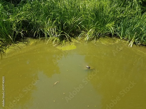 Fotografie, Obraz  pond with grasses and turtle