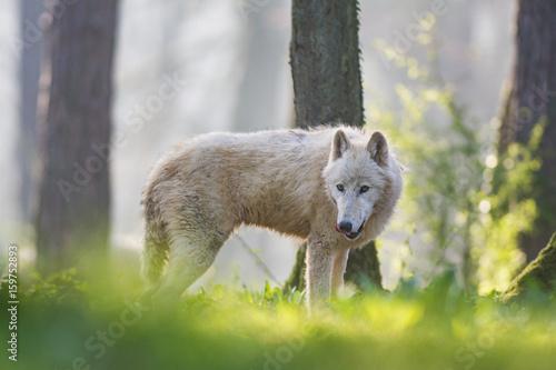 Fényképezés  Loup arctique