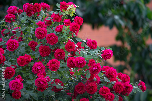 Foto op Canvas Roses Red roses bush