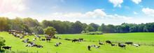 Kühe Auf Der Weide Im Sommer