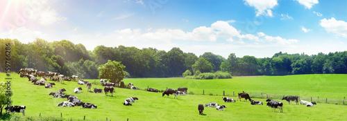 Photo Stands Lime green Kühe auf der Weide im Sommer