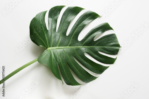 Single leaf of Monstera plant on white background Wallpaper Mural