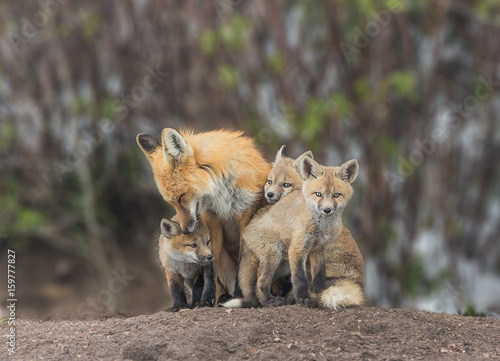 Photo Squeezing In For Attention - A red fox kit squeezes in for some love from Mom