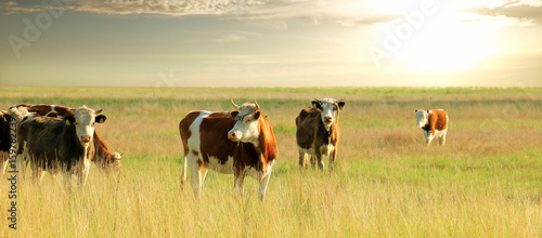 Acrylic Prints Cow Calves on the field