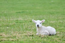 Lamb Baby Sheep In Grass Field...