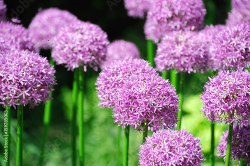 Photo purple allium lucy ball flower blooming in spring