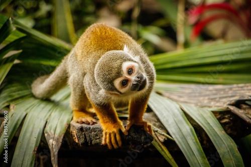 Funny look of sqirrel monkey in a rainforest, Ecuador