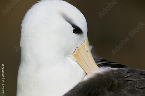 Fotografía  Black-browed Albatross (Thalassarche melanophris)