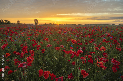 Fototapety, obrazy: Sunset over a poppy meadow