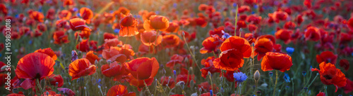 Staande foto Cappuccino Poppy meadow in the light of the setting sun, poppy and cornflower