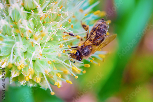 The bee pollinates the flower