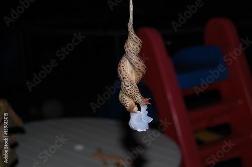 """Tigerschnegel bei der Paarung am Schleimfaden hängend und mit beginnender Umwicklung der Penes. Bildung der """"Lampenglocke"""" während der Paarung"""