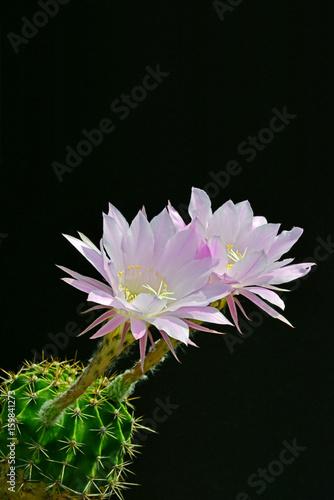Poster de jardin Nénuphars サボテンの美しい花