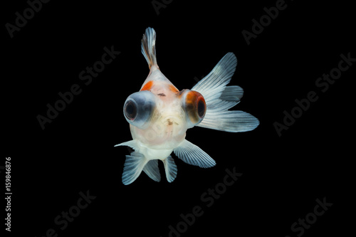 goldfish isolated on black background. Fototapeta