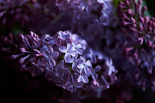 Branch Of Lilac On A Dark Background.Background, Close. Purple