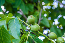Green Nuts On The Tree