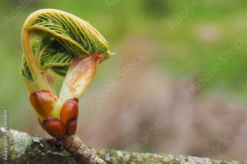 Roßkastanie, Aesculus hippocastanum