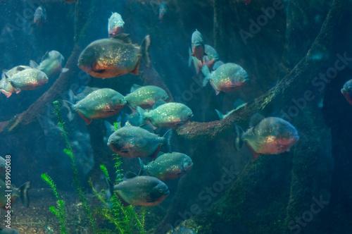 Valokuva  dangerous piranhas in the water