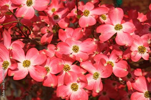 Flowering Dogwood (Cornus florida). Called American Dogwood and Eastern Dogwood also. State tree of North Carolina, West Virginia, Missouri and Virginia