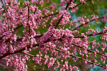 Eastern Redbud In Blossom (Cercis Canadensis). State Tree Of Oklahoma