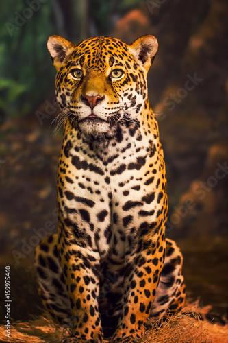 Poster Leopard Resting Jaguar