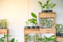 Small Trees In Wooden Pot For Ornamental Garden On White Wall With Bright Sunlight