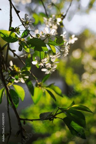 Flowering fruit trees bloom in the garden with white flowers buy flowering fruit trees bloom in the garden with white flowers mightylinksfo