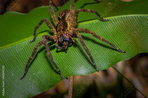 Banana Spider Sitting On A Heliconia Leaf In The Rainforest Located Cuyabeno