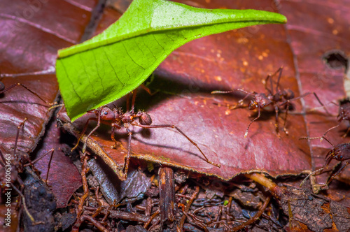 Small red ants cutting tree leafs, on the ground inside the forest in Cuyabeno N Wallpaper Mural