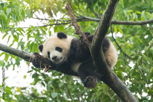 Valokuva  Giant panda baby over the tree.