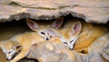 Big Ear Fox